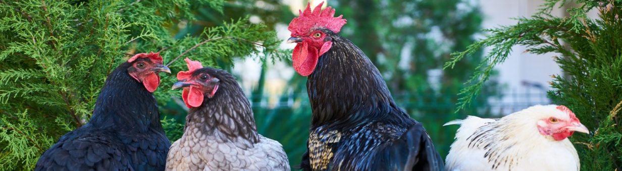 plusieurs coqs et poulets